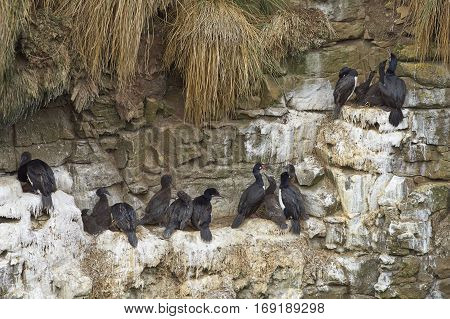 Rock Shag (Phalacrocorax magellanicus) with chicks nesting on the cliffs of Bleaker Island in the Falkland Islands
