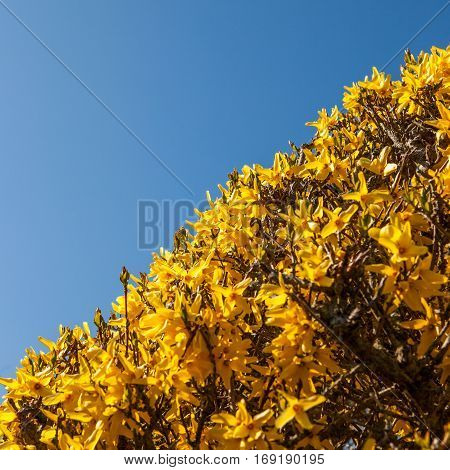 Detail of yellow forsythia blossom in sunny spring day