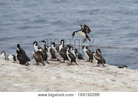 Imperial Shag (Phalacrocorax atriceps albiventer) coming into land among a large group of birds on the coast of Bleaker Island on the Falkland Islands