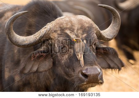 Portrait of a wild african buffalo in souther Africa with Red-billed oxpecker cleaning his head, serengeti national park, tanzania