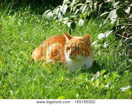 Photo of an orange cat lying in the grass