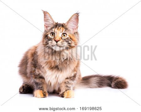 Portrait of domestic tortoiseshell Maine Coon kitten. Fluffy kitty isolated on white background. Adorable curious young cat looking away.