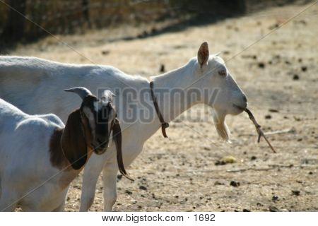 Goat Buddies