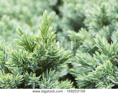 Evergreen blue juniper background. Photo of bush with green needles. Ornamental thorns of Juniperus communis treetop edges