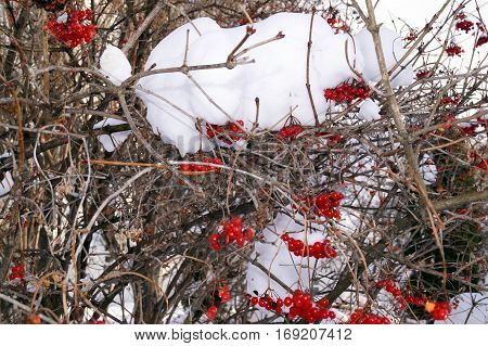 Red bunches of rowan covered with the snow.