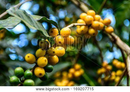 Unripe coffee beans on bush near Antigua, Guatemala, Central America