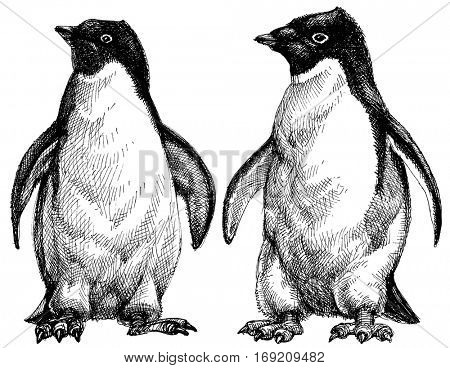 Penguins drawing. Adelie penguins isolated on white