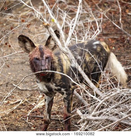 African wild dog emerging from the undergrowth. His face and paws are covered in blood from a recent kill, and blood is dripping from his mouth.