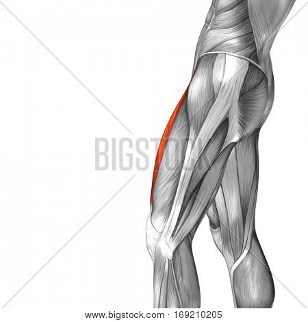 Concept or conceptual 3D illustration human upper leg anatomy anatomical and muscle isolated on white background metaphor to body, tendon, fit, foot, strong, biological, gym, fitness, health medical