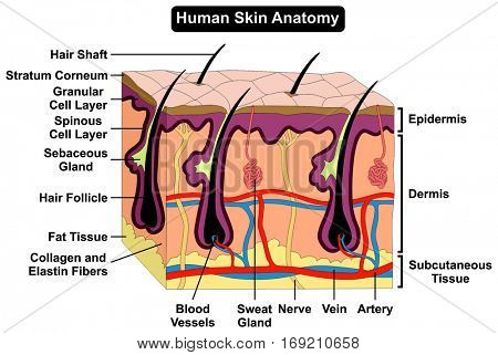Human Skin Anatomy cross section diagram anatomical figure with all layers epidermis dermis subcutaneous tissue hair follicle shaft artery vein nerve sweat gland cell for medical education