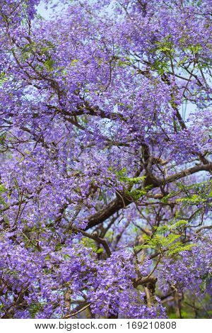 Beautiful blooming violet branches of Jacaranda tree.