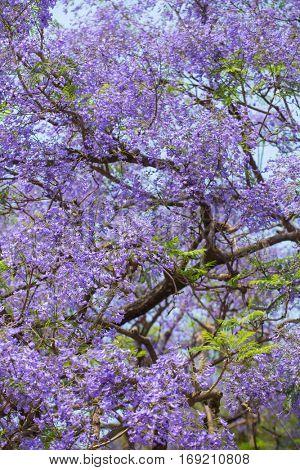 Beautiful blooming violet branches of Jacaranda tree.