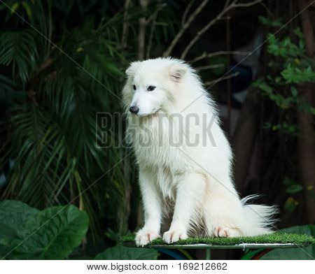 The samoyed dog on the grass in the park