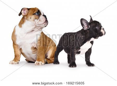 Puppy  French and an English bulldog