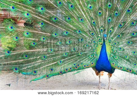 Peacock with beautiful tail in the garden