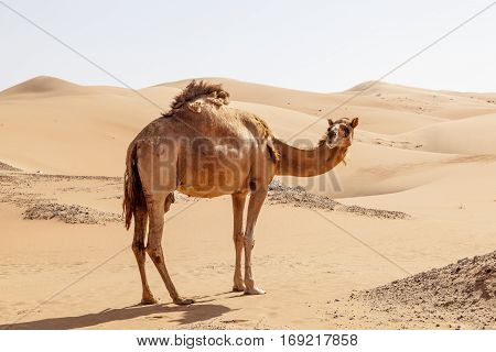 Lonely camel in the desert dunes. Liwa oasis area Emirate of Abu Dhabi United Arab Emirates