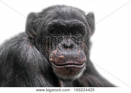 Thinking chimpanzee portrait isolated on white background closeup