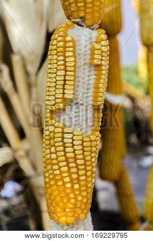 dry corn in the field of farmland
