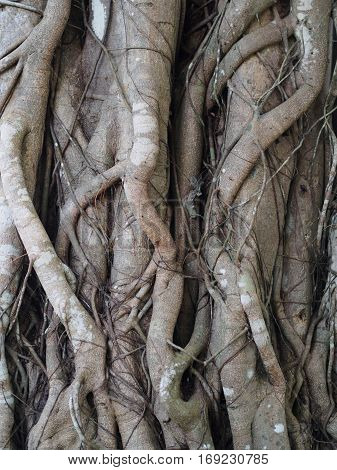 The old Banyan Tree root texture background