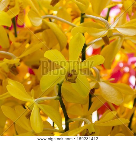 Oncidium yellow Orchid Flowers Dancing Lady orchid