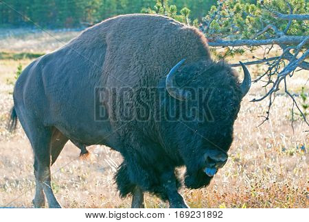 Bison Buffalo Bull with his tongue out near Canyon Village in Yellowstone National Park in Wyoming USA