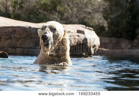 Polar Bear Known As Ursus Maritimus