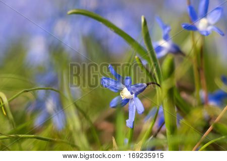 Close up of blue spring flower. Selective focus.