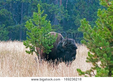 Bison Buffalo Bull near Canyon Village in Yellowstone National Park in Wyoming USA