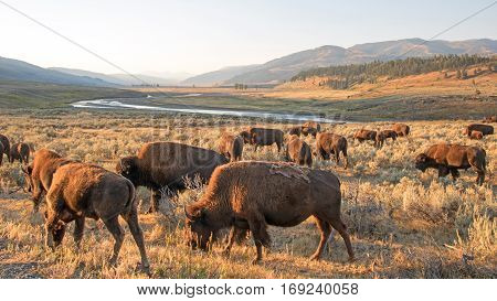 Buffalo Herd at sunrise in Lamar Valley of Yellowstone National Park in Wyoming USA