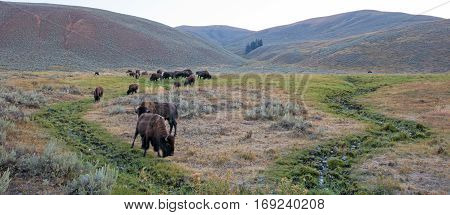 Bison Buffalo Herd in early morning in Lamar Valley of Yellowstone National Park in Wyoming USA
