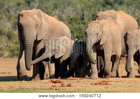 Herd of African elephants (Loxodonta africana) in natural habitat, Addo Elephant National Park, South Africa