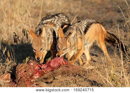 Black-backed Jackals (Canis mesomelas) scavenging on a carcass, South Africa
