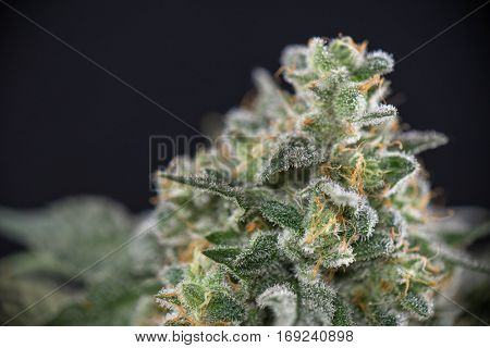 Detail of cannabis cola (mangolope strain) later flower isolated over black background