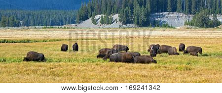 Bison Buffalo Herd in Pelican Creek grassland in Yellowstone National Park in Wyoming USA