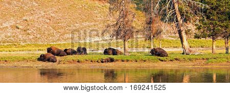 Bison Buffalo herd resting by the Yellowstone River in Yellowstone National Park in Wyoming USA