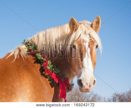 Blond Belgian draft horse looking at the viewer, wearing a Christmas wreath