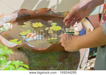 Feeding fish in tub at a garden.
