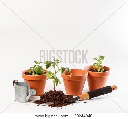 Young tomato seedling in a clay pot