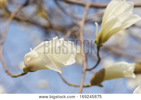 Close up of branch with magnolia flowers
