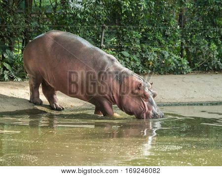 Sparring Hippos in zoo