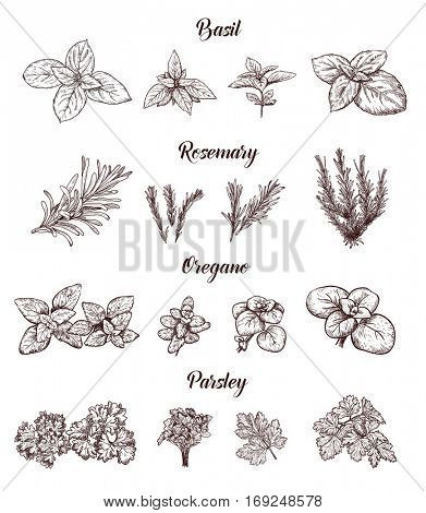 Herbs and spices set. Engraving illustrations for tags. Vector sketches for labels. Hand drawn plants.