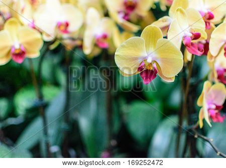 Yellow Pink Orchid