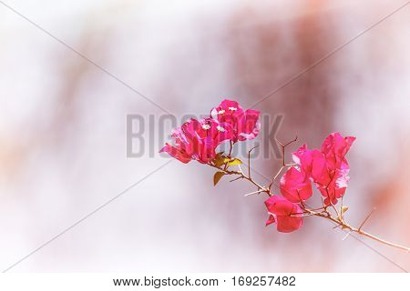 Pink bougainvillea flowers in sunlight, filtered to look aged and faded and with intentional light leaks. Space for your text.
