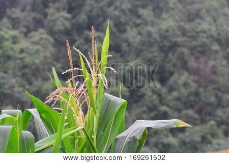 Close up corn flowering stage in field