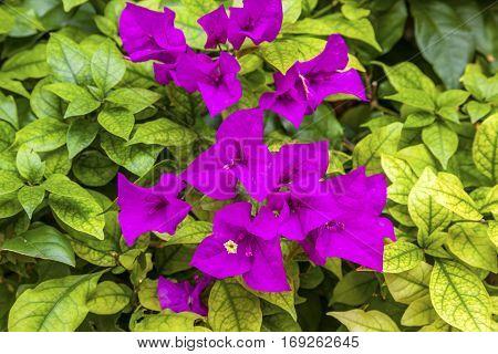 Purple Bougainvillea Green Leaves San Miguel de Allende Mexico Bougainvillea Spectablis