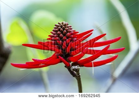 Red Coral Tree Flower Erythrina Americana Colorines Juarez Garden San Miguel de Allende Mexico. Native to Mexico the flower is edible and cooked with scrambaled eggs in Southern Mexico.