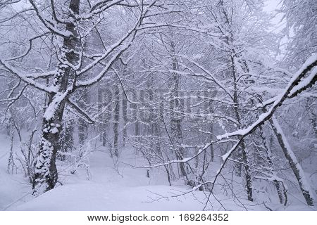 Snowy forest on North slope Aibga Ridge of Western Caucasus