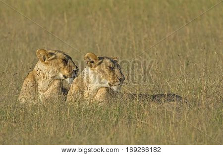 Lionesses in the early morning light Panthera leo