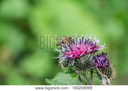 Macro close-up of honey bee sitting on flower of wooly burdock