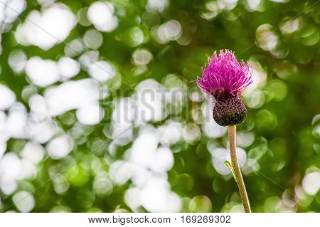 Close-up bull thistle flower or Cirsium vulgare